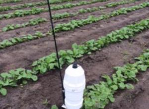 'All-in-One' probe in canola