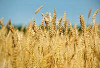 Wheat crop (Google)