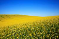 canola-field-under-blue-sky